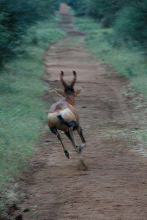 Redbackbeeste
